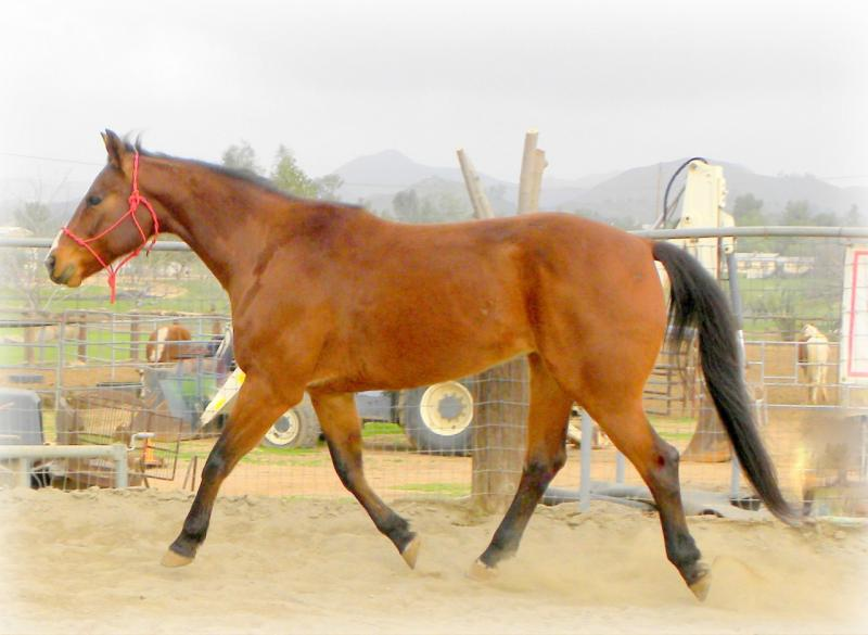 Quarter Horse For Sale Gelding, Cow, trail Bay,